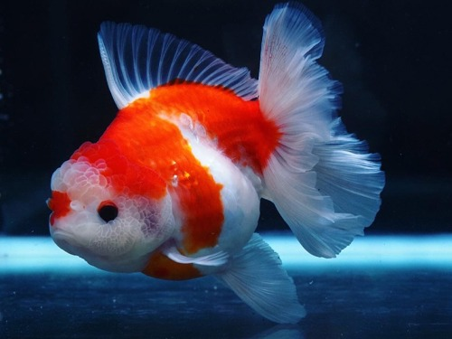 Special Meng group  BP Meng | Monster body Sakura Rose tail Oranda   몬스터바디 사쿠라 로즈테일 오란다      14cm 급  암컷추정   ( BPM0209_3 )