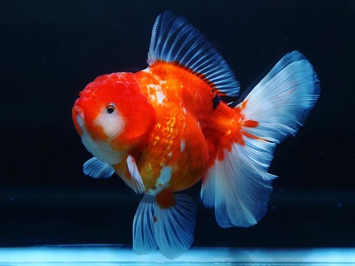 Special Meng group  BP Meng | Monster body Sakura Rose tail Oranda   몬스터바디 사쿠라 로즈테일 오란다      14cm 급  암컷추정   ( BPM0209_2 )