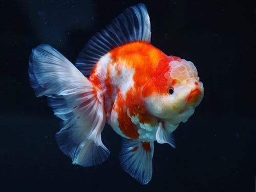 Special Meng group  BP Meng | Monster body Sakura Rose tail Oranda   몬스터바디 사쿠라 로즈테일 오란다      14cm 급  암컷추정   ( BPM0209_1 )