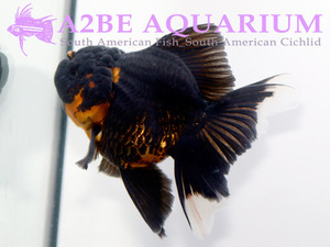 슈퍼발룬 골든 블랙 오란다 / Super Balloon Golden Black Oranda [ 0611_GF ] (14cm급)