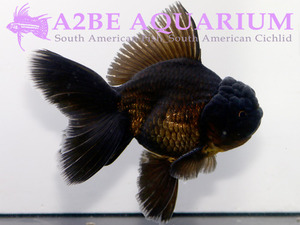 슈퍼발룬 블랙 오란다 / Super Balloon Black Oranda [ 0611_GH ] (14cm급)