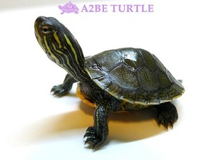 웨스턴 페인티드 거북 / Western Painted TURTLE (Chrysemys picta)