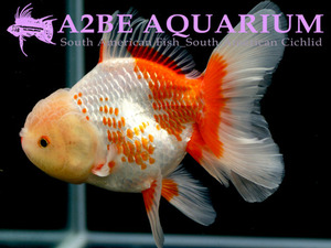 슈퍼 발룬 화이트 헤드 홍백 오란다 / Super Balloon White Head Red&White Oranda​ / ​[ 0620_GG ] (14cm급)