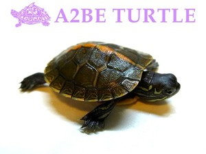 써든 페인티드 터틀 / Southern Painted Turtle (Chrysemys Picta Dorsalis)