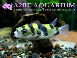 남미복어 (Amazon puffer) / Colomesus asellus wild (3cm전후)
