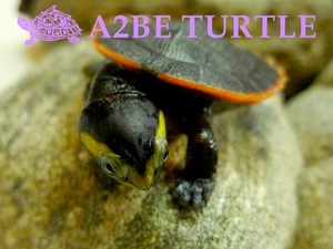 "레드벨리 사이드넥 터틀 / Emydura subglobosa / ""Red-bellied short-necked turtle"" 7월 할인분양"