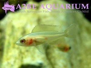 �긮������ �˺�� / Neolamprologus brichardi var. ALBINO (3.5cm����)