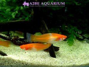 �˺�� ȫ�� ������ ���� / White & Red Swordtail Albino (2����)