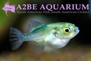 ����� ������� / Auriglobus modestus wild (2-3cm����) 3����