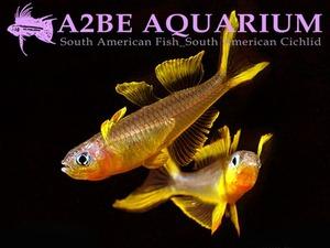 �ǻ��� ���κ��� / Pseudomugil furcatus (Forktail rainbowfish) / (5����)